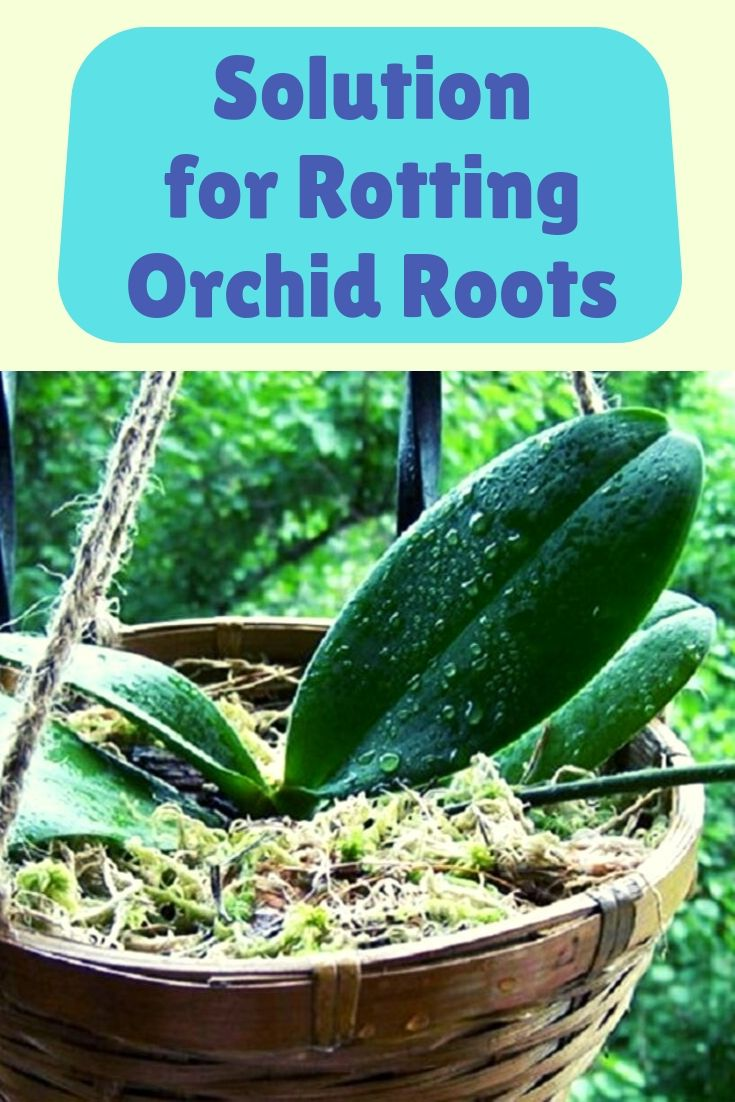 Solution for Rotting Orchid Roots