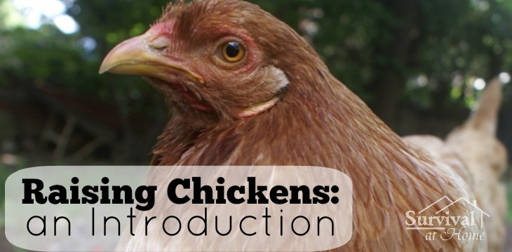 Raising Chickens: An Introduction